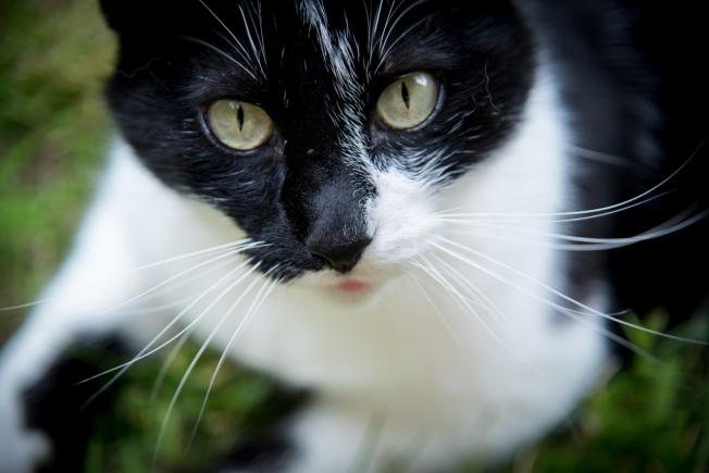 Les yeux verts de mon chat en gros plan