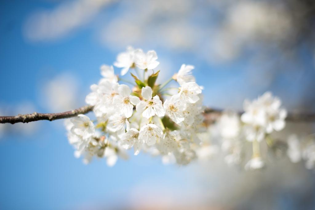 Gros plan sur un amas de fleurs de cerisier, blanches.