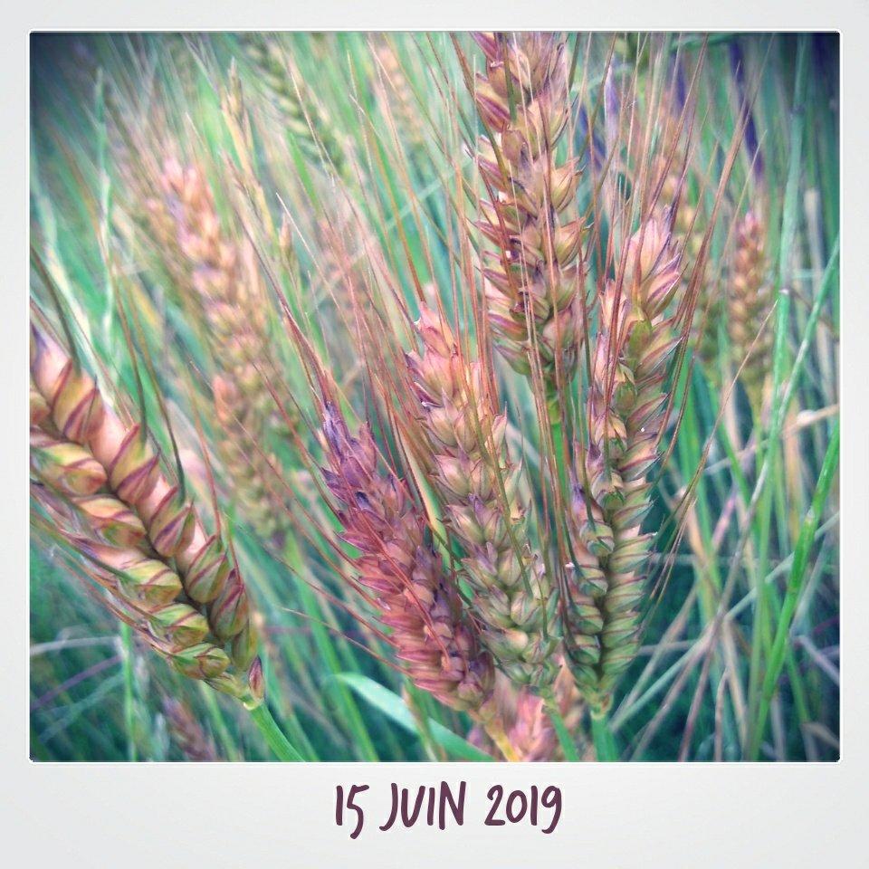 Épis de blés verts et violets